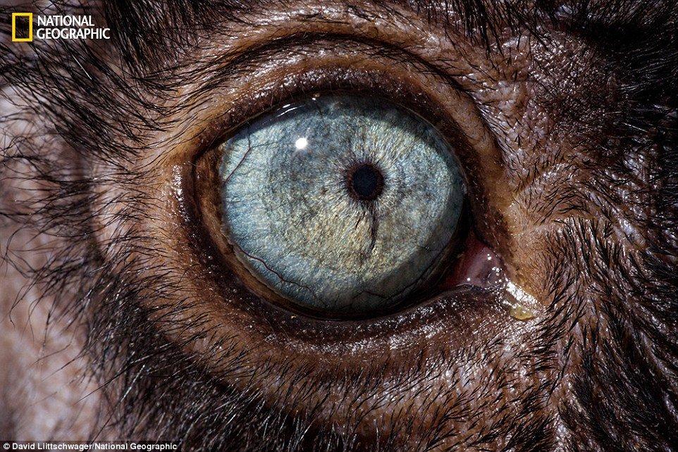 Lêmure-preto-de-olho-azul (Eulemur flavifrons) - Também de Madagascar, são os únicos primatas a ter olhos azuis, além dos seres humanos