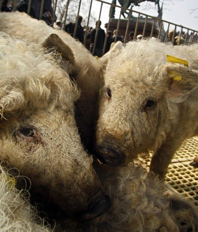 2 em 1: conheça o animal fofo que parece um híbrido de porco com ovelha