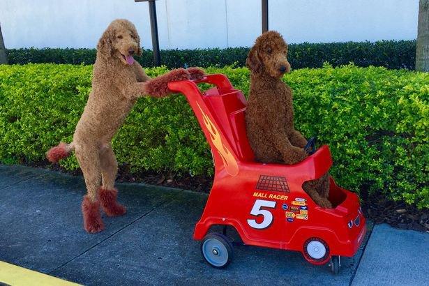 Esta é a dupla de poodles mais inteligente que você já viu!