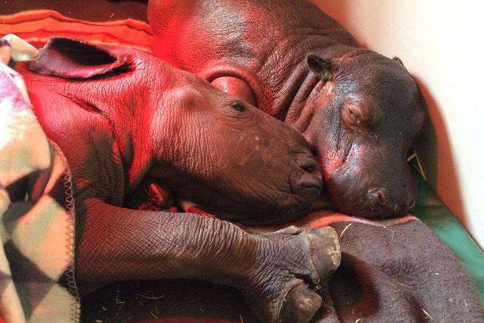 A amizade de um rinoceronte e um hipopótamo vai derreter o seu coração - Mega Curioso