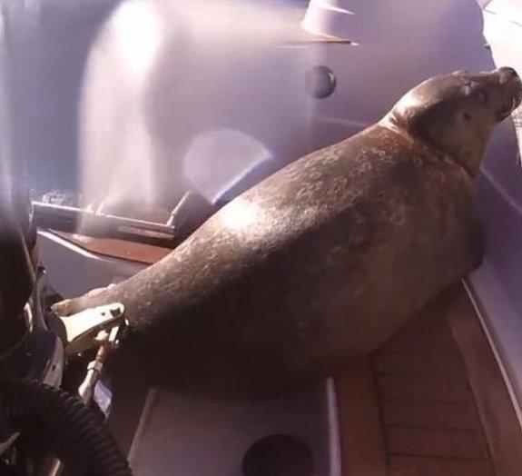 Tensão e ternura: para fugir de ataque, foca se esconde em barco de pesca