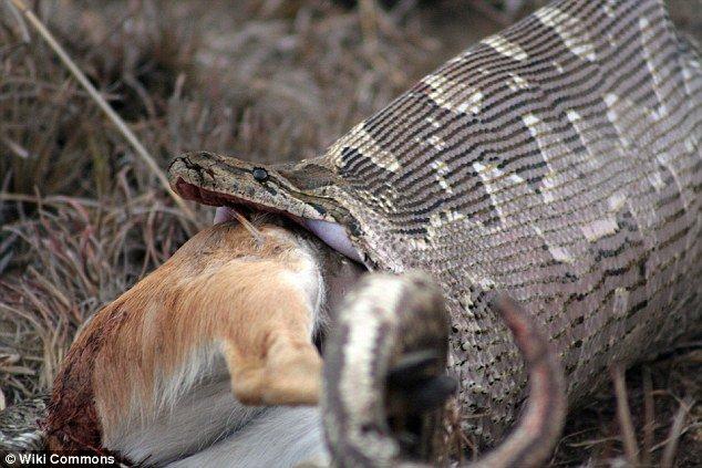 """Agricultores matam cobra """"gorda"""" e descobrem que ela estava cheia de ovos"""