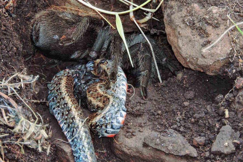 Tarântula é flagrada devorando serpente aqui no Brasil - Mega Curioso