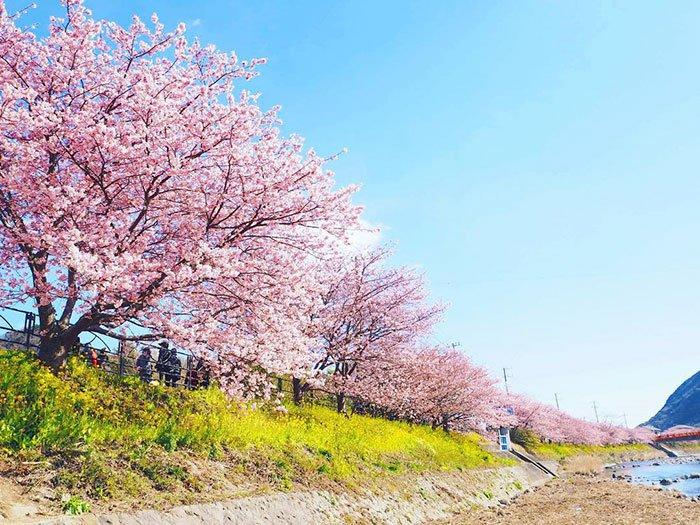 Sakuras: chegou, finalmente, a época das esplêndidas cerejeiras japonesas