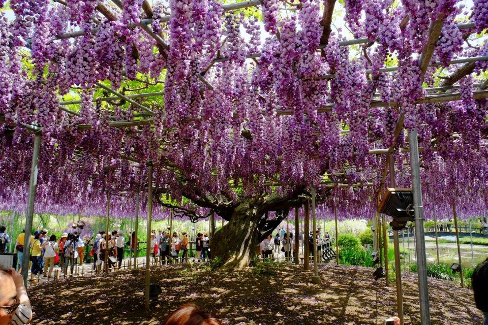 Conheça a trepadeira com mais de 100 anos que encanta em parque no Japão - Mega Curioso