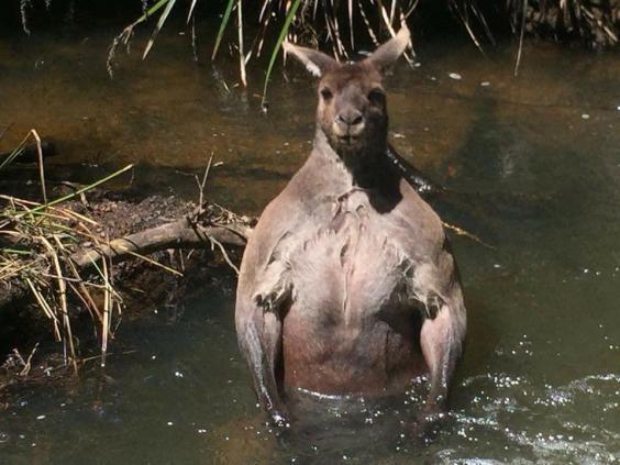 Este é possivelmente o canguru mais musculoso de todos os tempos