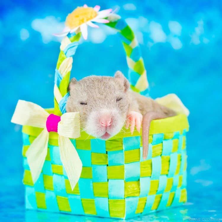 Estas fotos farão você parar de achar que ratos são nojentos