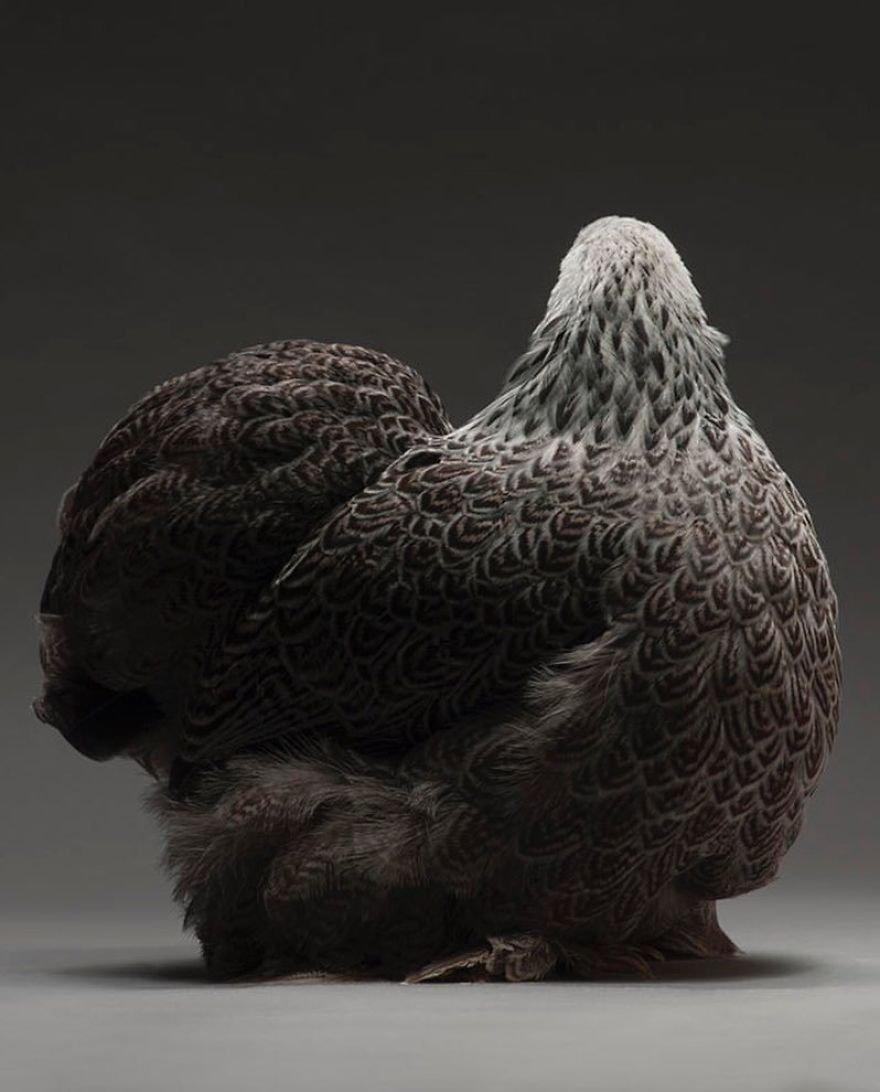 Você vai ficar chocado com a beleza destas galinhas e destes galos