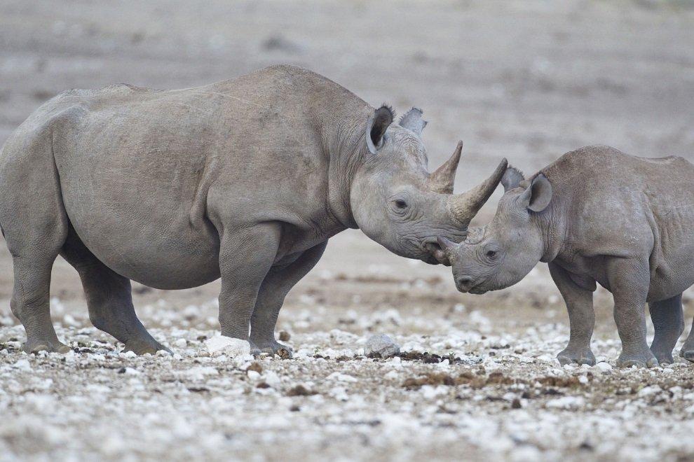 Morre Sudan, o último rinoceronte-branco macho que restava no mundo - Mega  Curioso 61b0119c0d