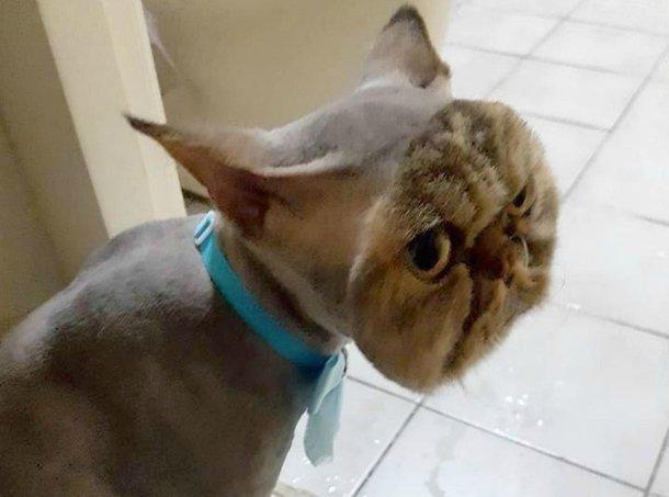 Gato tosado