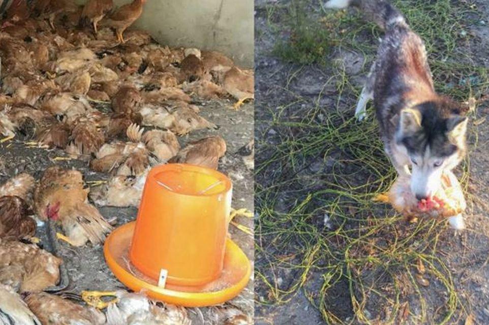 Matança: cachorro foge de canil e aniquila 600 galinhas em apenas uma noite  - Mega Curioso