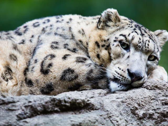 Leopardo-das-neves (Panthera uncia)
