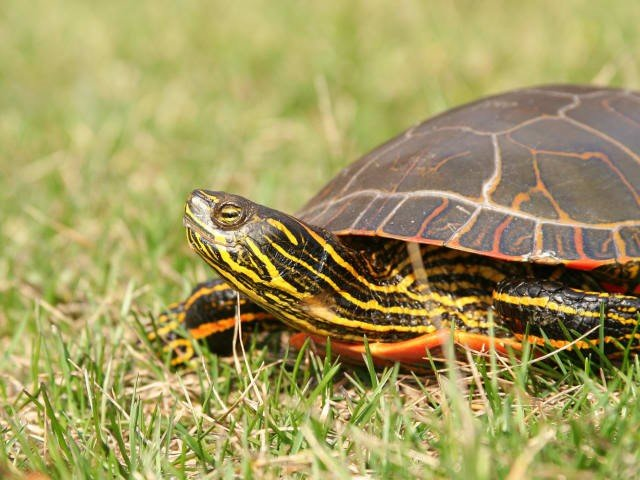 Tartaruga-pintada (Chrysemys picta)