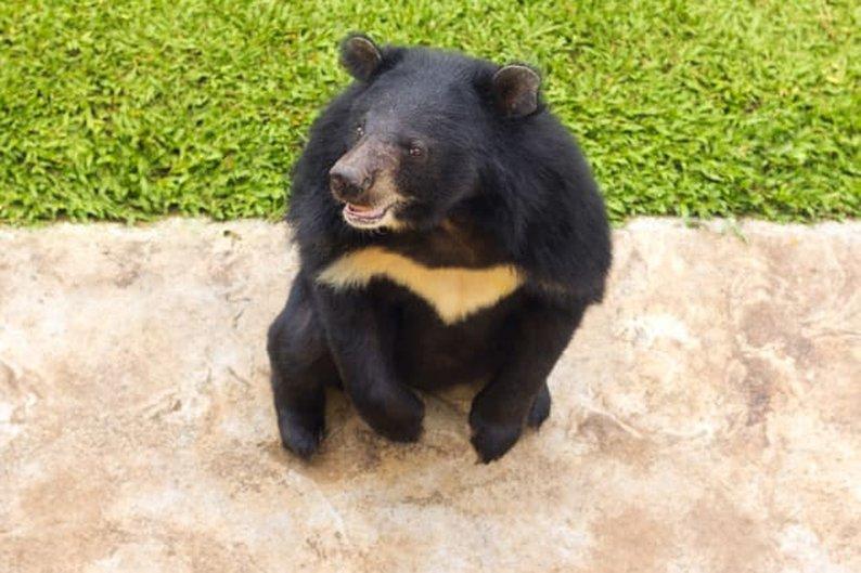 Urso-negro-asiático (Ursus thibetanus)