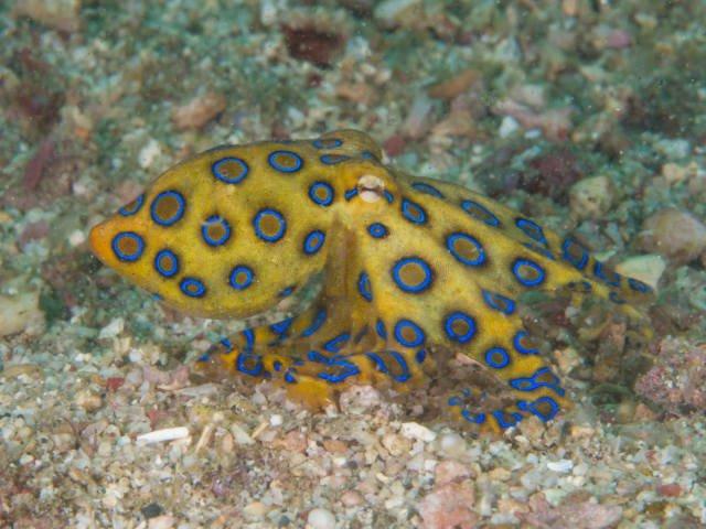 Polvos-de-anéis-azuis (Hapalochlaena lunulata)
