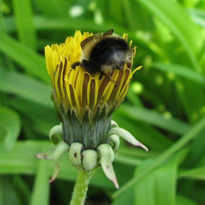 Abelhas são fotografadas dormindo dentro de flores