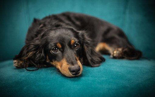 Imagem de Por que cachorros roubam nosso lugar no sofá assim que levantamos? no megacurioso