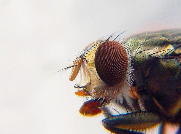 Os resultados mostraram que a inativação dos receptores Opsin1 (Op1) e Opsin2 (Op2) interrompe a capacidade das fêmeas do Aedes aegypti reconhecerem os seres humanos. (Fonte:Pixabay/Reprodução)
