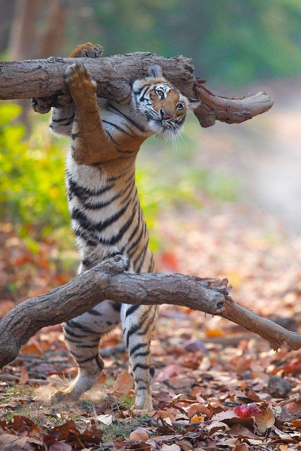 (Fonte: Siddhant Agrawal - Comedy Wildlife Photography Awards 2021 / Reprodução)