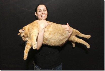Conheça Bob Esponja, provavelmente o gato mais gordo do mundo
