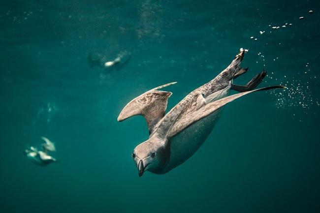 Cena de pássaros mergulhadores leva prêmio britânico de melhor fotografia