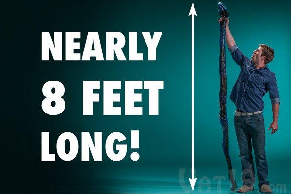 Bizarro: cobra comestível de goma mede 2 metros e pesa mais de 12 quilos