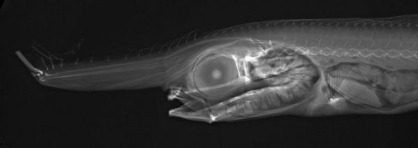 Confira o raio X de incríveis criaturas que habitam os oceanos [galeria]