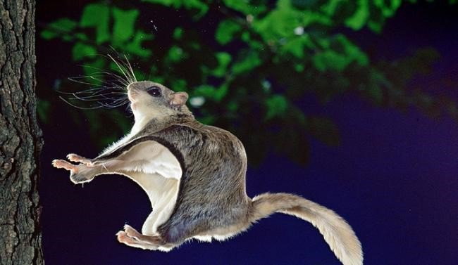Fotógrafo consegue fazer ensaio com um esquilo voador