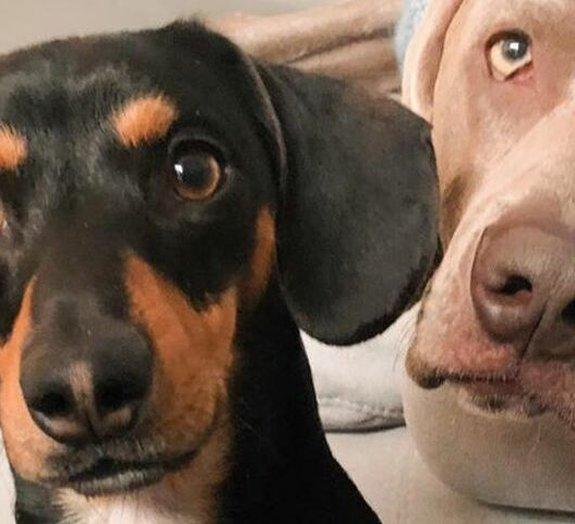 Arnold, o cão que superou sua ansiedade com um amigo de terapia