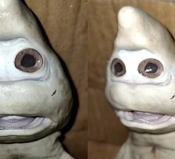 Zé Gotinha ou tubarão? Criatura bizarra é descoberta na Indonésia [vídeo]